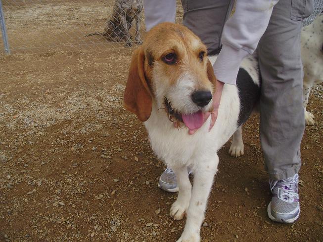 Floc macho cruce de griffon y beagle pro sabuesos espa a - Perrera de vilafranca ...